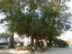 Mata dels jardins d'Oriol Martorell, arbre d'interès local i comarcal